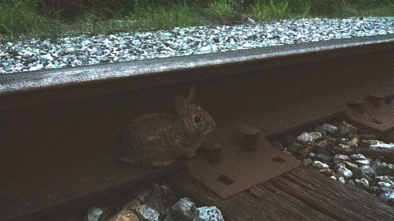Rabbit Railroads Woods Mothernature Maryland United States Owings Mills Reisterstown