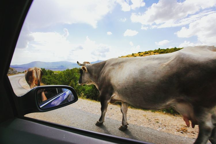 Cows walking on road seen through car window