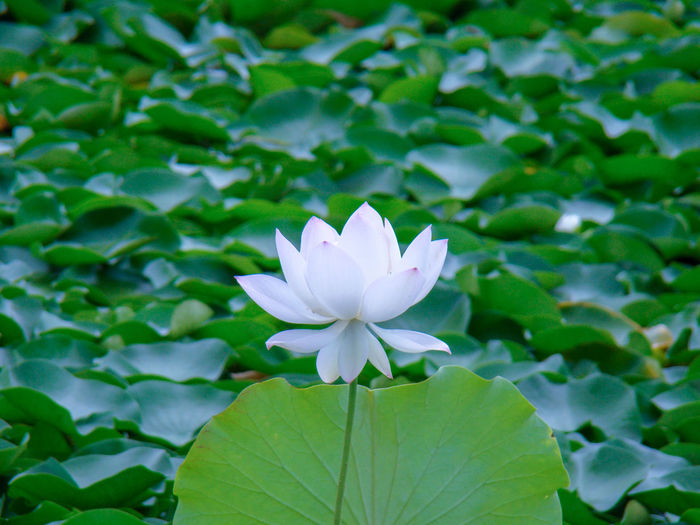 A lotus flower Flower Head Flower Lotus Water Lily Leaf Water Lily Petal Close-up Plant Lotus Pond Blossom