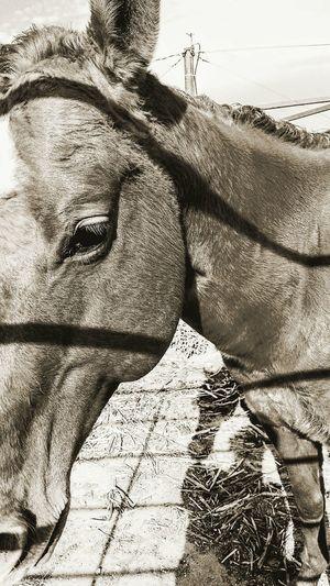 Ranch horses Animal Theme horse Equine livestock Stallion cowboy Stud pony Country Western Lifestyle Mammal Ranch Barn Farm Pasture Corral Outdoors sunshine Rural Hoof Mane Calvary Gentle Grass Monochrome The Week On EyeEm