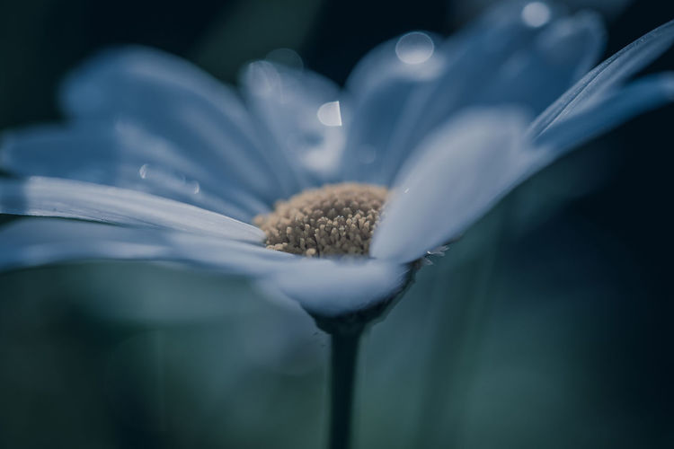 Fragility Vulnerability  Freshness Plant Beauty In Nature Growth Flower Flowering Plant Close-up Flower Head Petal Inflorescence Selective Focus Nature No People Day Pollen White Color Focus On Foreground Outdoors Softness The Minimalist - 2019 EyeEm Awards