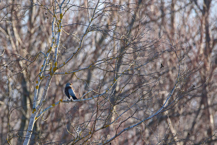 Fieldfare bird
