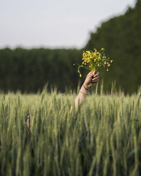 Cropped hands of woman holding yellow flowers amidst crops in field