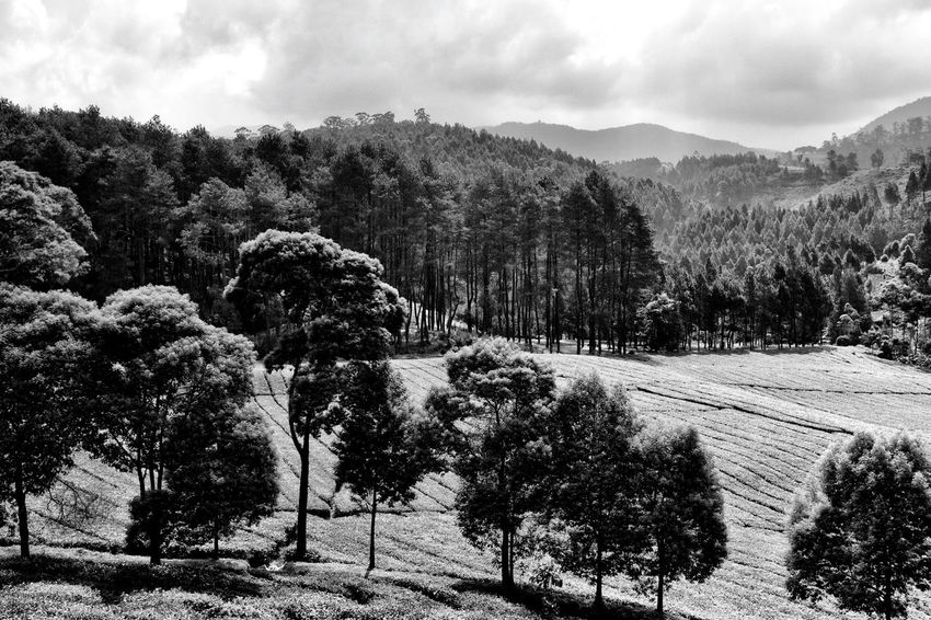 One fine afternoon at Pangalengan Black & White INDONESIA Beauty In Nature Black And White Landscape Monochrome Mountain Nature No People Tranquil Scene Tranquility Tree First Eyeem Photo