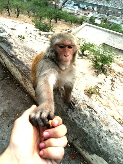 Animal Themes Mammal Holding One Animal Animals In The Wild Day Outdoors Monkey One Person Close-up Human Hand Monkeytemple Monkeytemplejaipur Jaipur Rajasthan India Peanuts