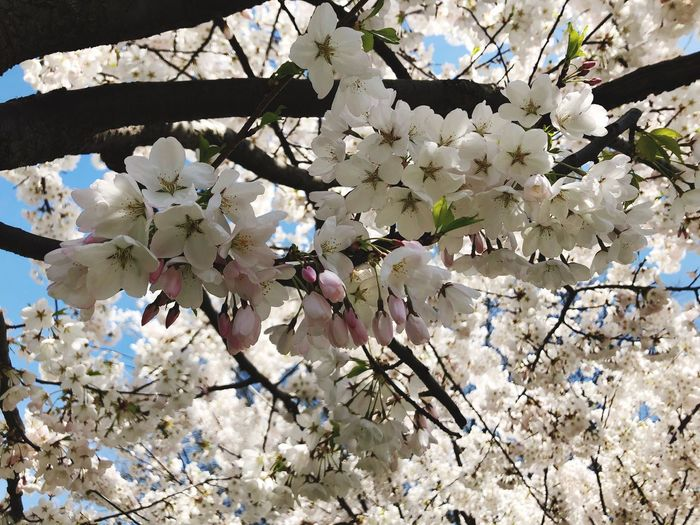 Trinity Bellwoods Park Cherry Blossoms Tree Plant Flower Flowering Plant Branch Fragility Blossom EyeEmNewHere