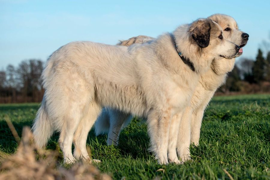 Male and female Pyrenean mountain dogs Livestock Guardian Dog Pyrenean Mountain Dog EyeEm Selects Animal Themes Mammal Animal Vertebrate One Animal Domestic Animals Pets Field Land Grass Dog Canine Nature Standing No People