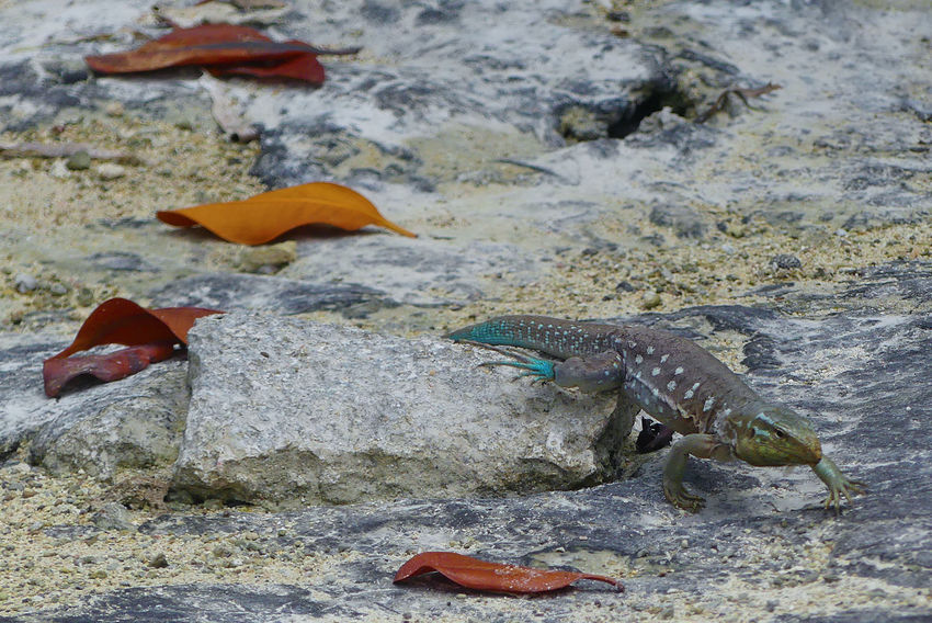 Animal Photography Animals In The Wild Animals In The Wild Blow-blow Iguana Leaf Leguan No People Reptile Wildlife Wildlifephotography