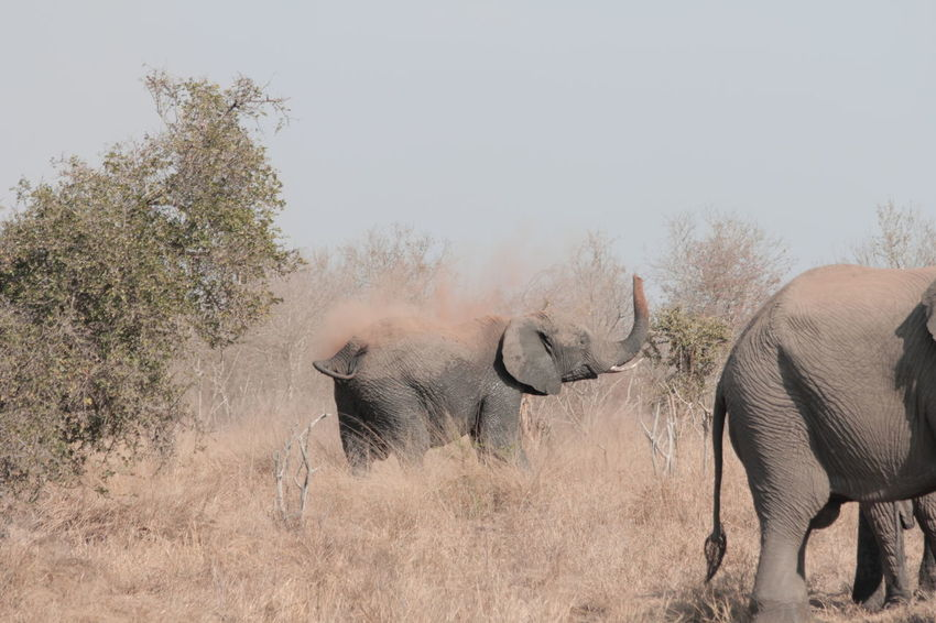 Hlane Royal National Park Swazi Elephant African Elephant Animal Animal Themes Animal Wildlife Animals In The Wild Day Elephant Herbivorous Mammal Nature No People Outdoors Plant Safari Tree