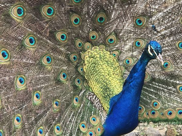 Animal Themes Animal Wildlife Animals In The Wild Beauty In Nature Bird Blue Close-up Day Fanned Out Feather  Multi Colored Nature No People One Animal Outdoors Peacock Peacock Feather