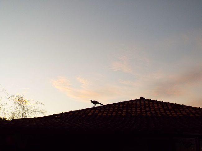 Flagrante pássaro no telhado. Roça mineira