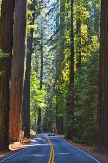 Driving Beauty In Nature Car Day Forest Growth Landscape Nature No People Outdoors Redwoods Road Scenics Smallness The Way Forward Tranquil Scene Tranquility Transportation Tree Tree Trunk