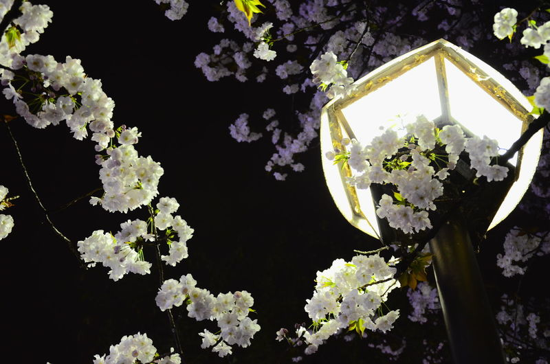 Urban Spring Fever Light Up Your Life Lamp Street Light Streetphotography Sakura Trees Cherry Blossoms Hanami Sakura  Nature City Lights Night Lights Things I Like Here Belongs To Me The Great Outdoors With Adobe My Favorite Photo Cities At Night The Street Photographer - 2016 EyeEm Awards Unlimit Japan Ultimate Japan