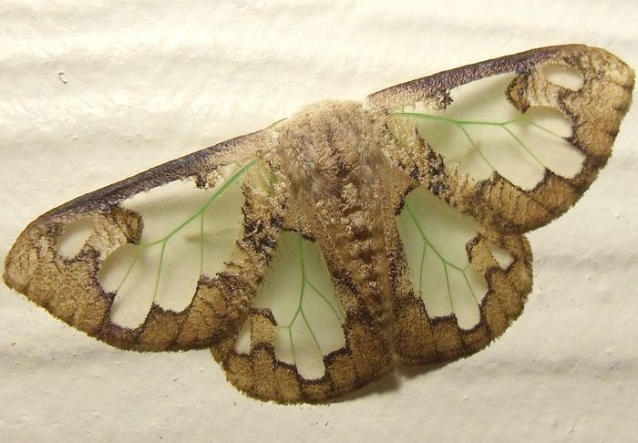 Carriola Ecnomada EyeEmNewHere The Philippines Tussock Moth Green Veins Moth Stained Glass Wing Transparent Wings