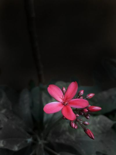 Flower Red Pink Color Close-up No People Black Background Nature Beauty In Nature Fragility Freshness Day Flower Head Outdoors Beautiful Nature