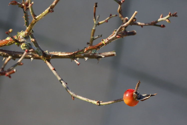 Rosehip Beautiful Nature Nature Photography Close Up Photography Close Up Nature Beautiful Nature Nature 3XPUnity Taking Photos Branch Winter Tree Close-up Rose Hip
