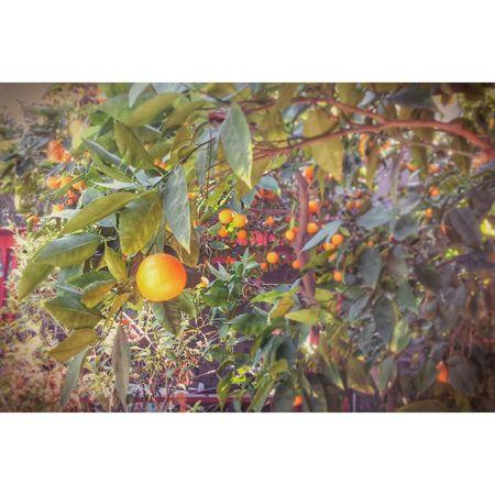 Orangetrees Backyardphotography California Oranges Sunny Day Losangeles Southpasadena Southpas