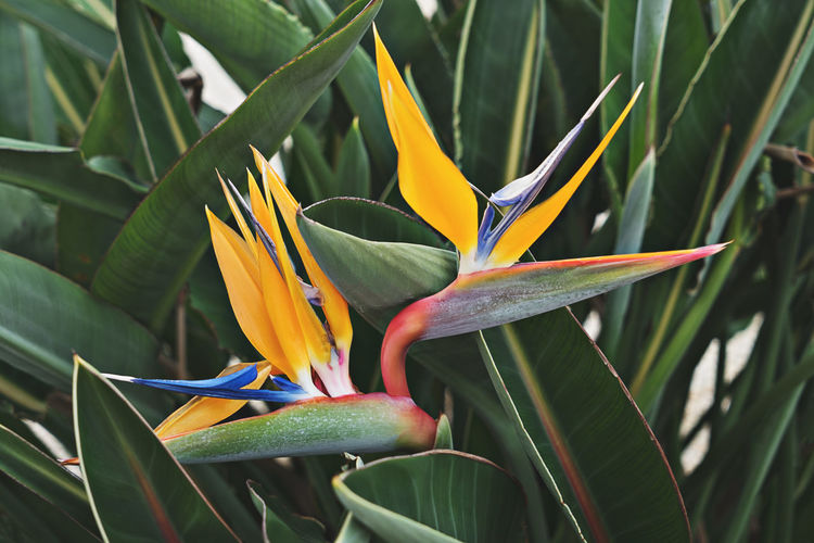 Strelitzia Flowering Plant Plant Flower Bird Of Paradise - Plant Beauty In Nature Vulnerability  Fragility Freshness Petal Growth Flower Head Inflorescence Close-up Day Nature No People Green Color Plant Part Leaf Outdoors
