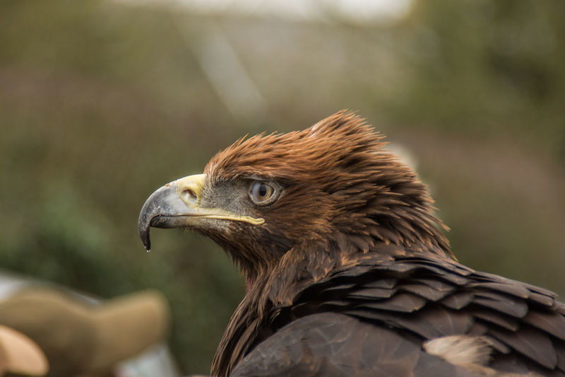 Animal Animal Body Part Animal Eye Animal Themes Animal Wildlife Animals In The Wild Bird Bird Of Prey Brown Close-up Day Eagle Eagle - Bird Falcon - Bird Focus On Foreground Looking Nature One Animal Outdoors Profile View Side View Vertebrate