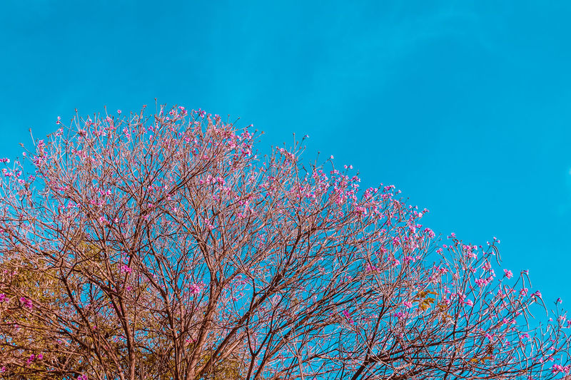 Pink flowers Beauty In Nature Blossom Blue Blue Sky Celebration Day Flower Low Angle View Nature No People Outdoors Pink Pink Color Sky Tree Millennial Pink