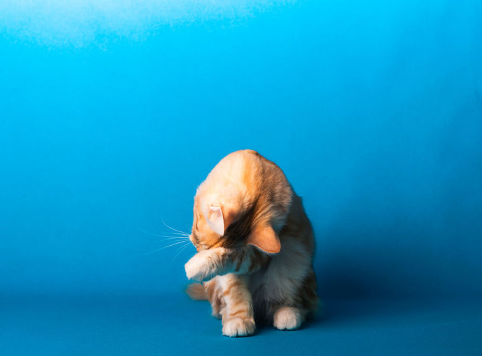 View of a cat on blue background