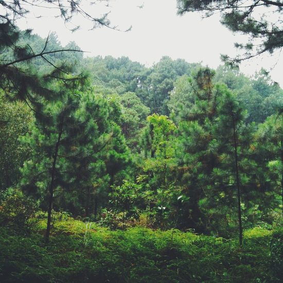 Mướt lắm 🌲🌳 Forest Iphoneonly Trees Ourhanoi Socson Greens Outdoor Travel Somuchgreen🌱
