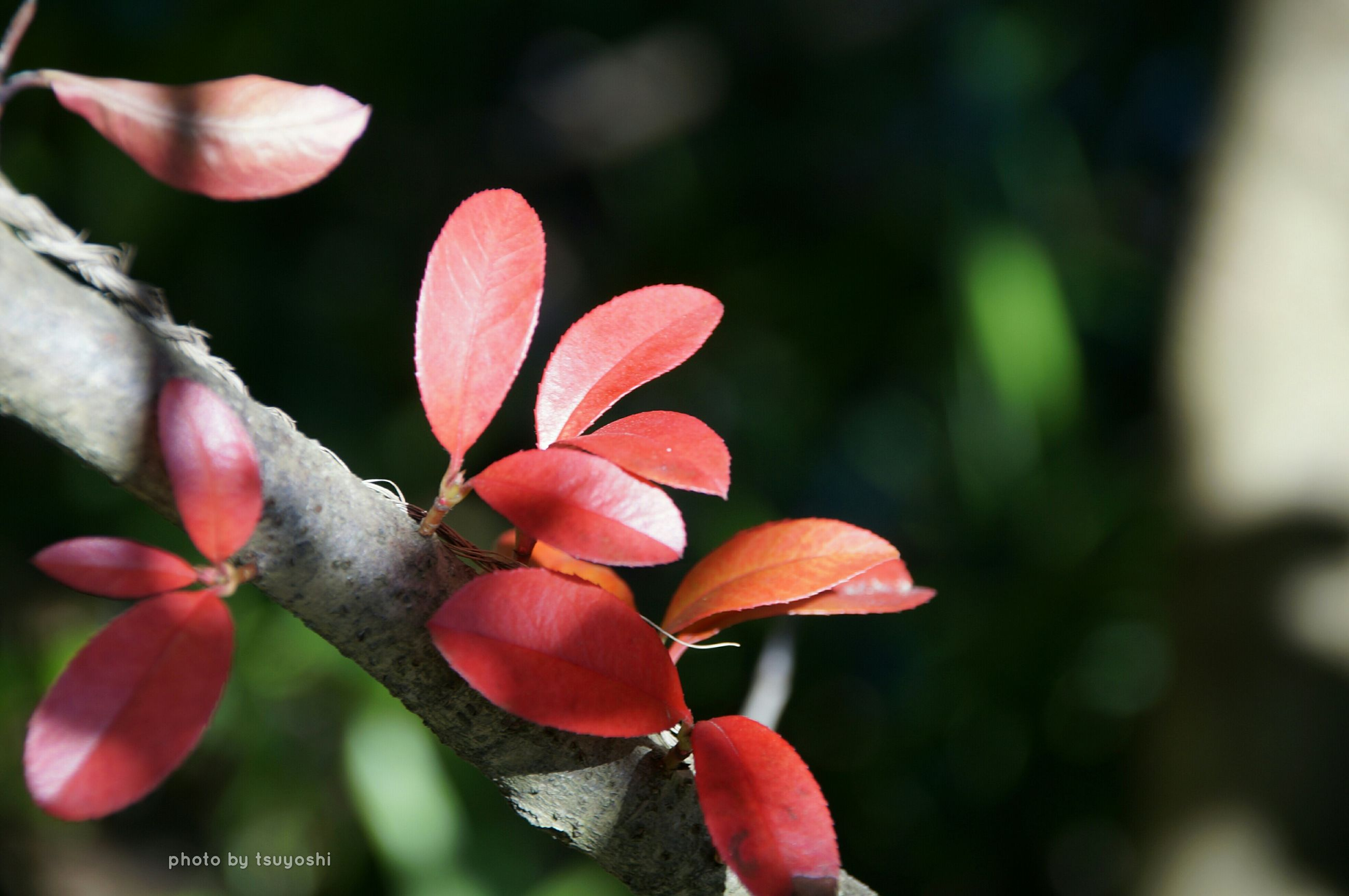 flower, freshness, petal, growth, fragility, close-up, focus on foreground, flower head, beauty in nature, nature, bud, red, pink color, blooming, plant, stem, in bloom, blossom, stamen, selective focus