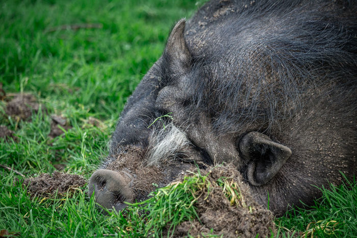 Resting pig. Animal Animal Body Part Animal Hair Animal Head  Animal Themes Close-up Day Field Focus On Foreground Grass Grassy Green Color Lying Down Mammal Nature No People Outdoors Portrait Relaxation Resting