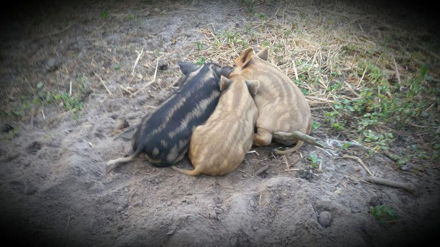 Schweine Ferkel Schwein Pig Animal Natur Nature Relaxation Vignette Field