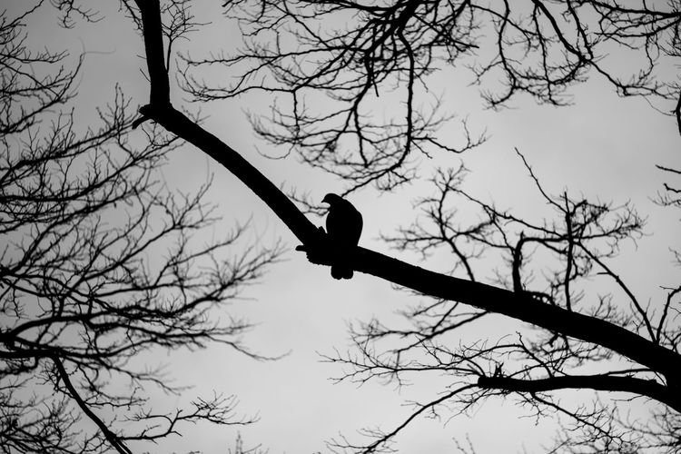 Paris Animal Themes Animal Wildlife Animals In The Wild Bare Tree Beauty In Nature Bird Bird Of Prey Blackandwhite Branch Day Low Angle View Mid-air Nature No People One Animal Outdoors Perching Raven - Bird Silence Silhouette Sky Spread Wings Streetphotography Tree