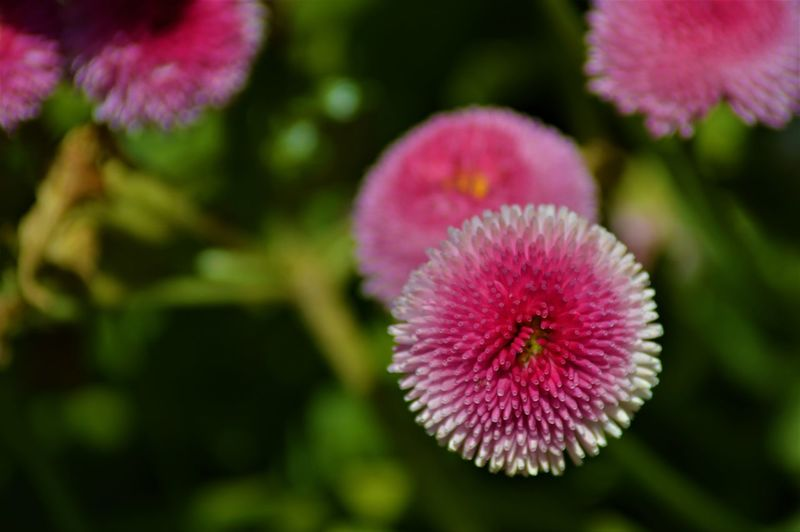 Beauty In Nature Close-up Flower Focus On Foreground Freshness Mcgaffinphotography Pink Color Purple