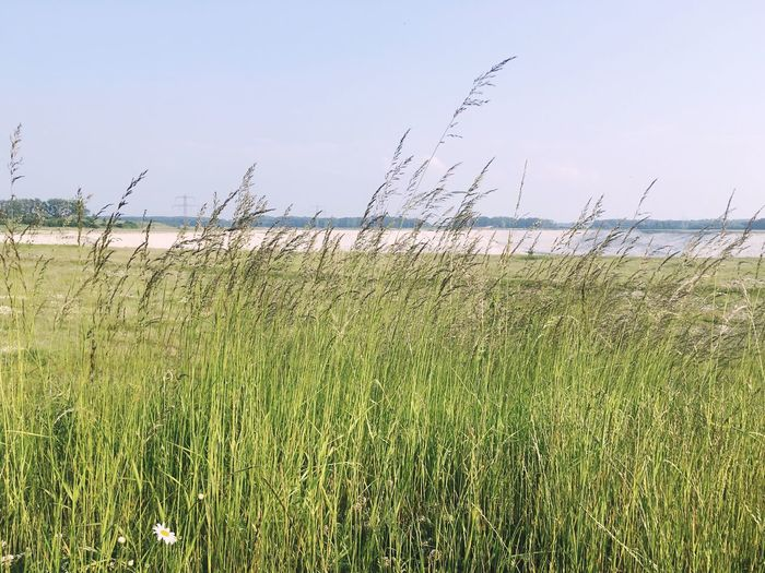 Grass Nature Sea Tranquil Scene Growth Scenics Water Clear Sky Tranquility Beauty In Nature Outdoors Sky Horizon Over Water No People Day Marram Grass Tall Grass Landscape Beach Timothy Grass Nature