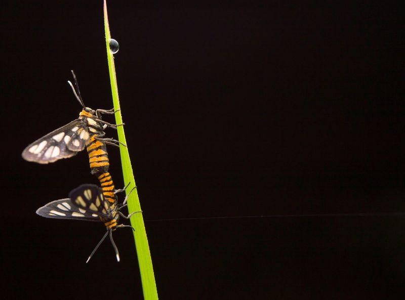 Closeup tiger moth mating. Leaf Night Mating Insect Photography Wing Fly Detail Education Summer Garden Fauna Closeup Mating Tiger Moth Background Insect Animal Themes No People Hanging One Animal Close-up Animals In The Wild Black Background Day Outdoors