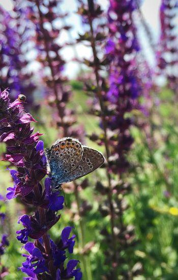 Butterfly Polyommatus Bellargus Lysandra Bellargus Голубянка Salvia Шалфей шалвія