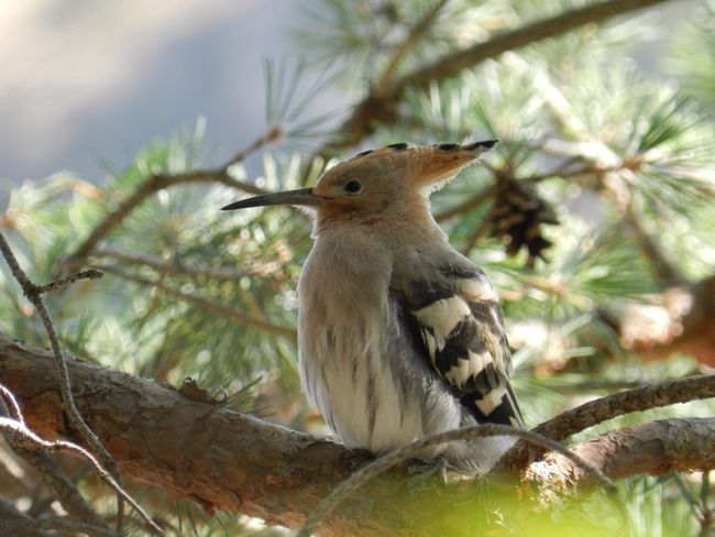 Hello World Taking Photos Eye4photography  Nofilter EyeEm Nature Lover Hoopoe Animal Animal Themes Animals In The Wild Animal Wildlife Tree One Animal Vertebrate Outdoors Nature Close-up Perching Beauty In Nature Branch Bird No People