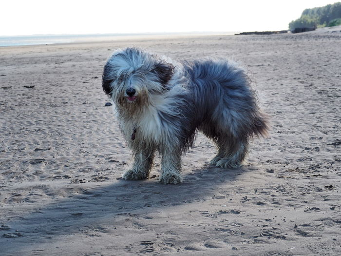 EyeEm Selects Beach Sand One Animal Sea Dog Mammal Animal Pets Water Animal Themes Outdoors No People Nature Day Domestic Animals Full Length Scotland Scottishrowan Tentsmuirforest Dundee Bearded Collie Sky