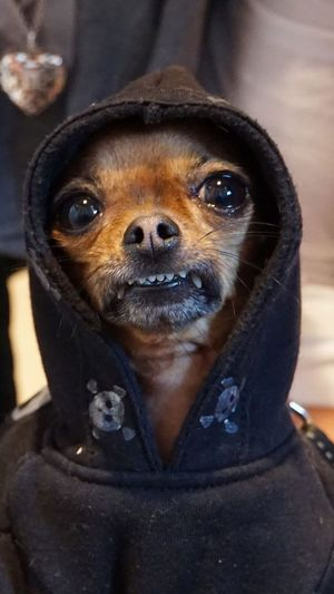 Rocky Chihuahua