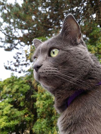 Grey cat up close Cat Close Up Portrait