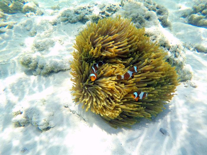 Animal Wildlife Sea UnderSea Underwater Animal Themes Animals In The Wild Water Animal Sea Life Nature Coral No People Marine Invertebrate Beauty In Nature One Animal Close-up Vertebrate Fish Outdoors Anemone Anemone Fish