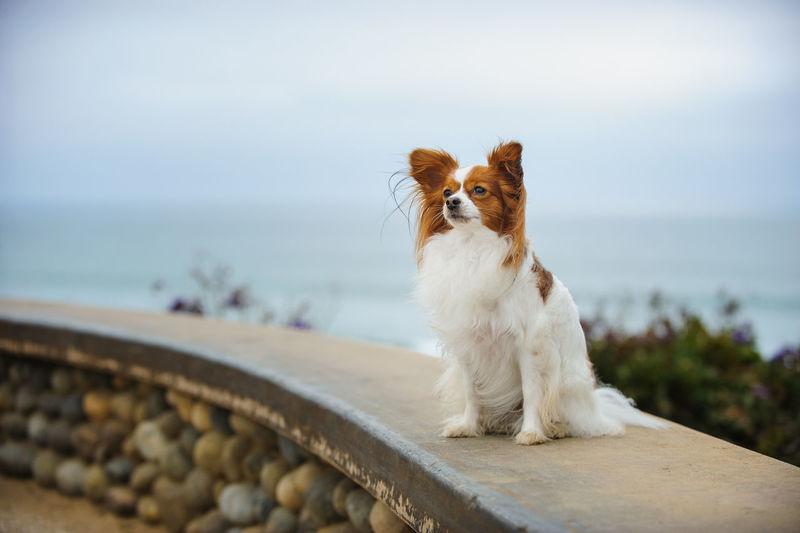 Papillon dog on retaining wall against sea