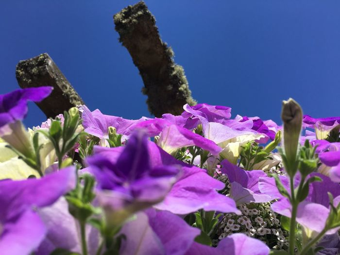 Beauty In Nature Clear Sky Close-up Day Flower Flower Head Flowering Plant Fragility Freshness Growth Inflorescence Lilac Nature No People Petal Pink Color Plant Purple Selective Focus Sky Springtime Vulnerability
