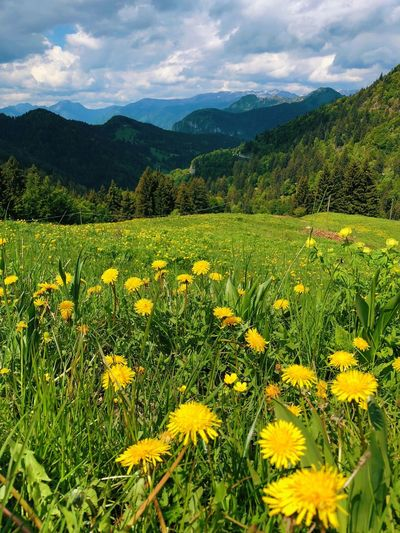 Biking to the top of Monte Tremalzo Plant Flower Beauty In Nature Growth Field Flowering Plant Yellow Scenics - Nature Rural Scene Landscape Sky Tranquil Scene Tranquility Green Color Nature Cloud - Sky Land Environment