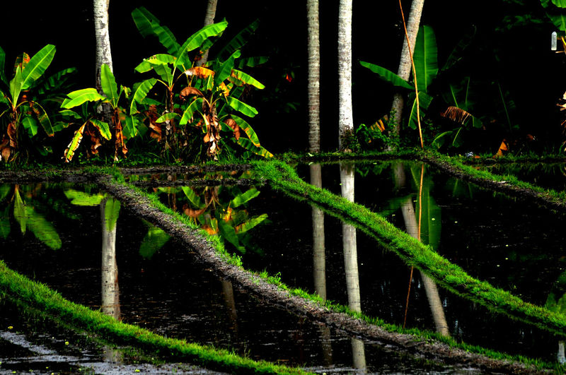 Bali Bali Rice Field Water Reflections Beauty In Nature Close-up Forest Freshness Green Color Growth Leaf Nature Night No People Outdoors Plant Sustainability Tree Water Water Crops