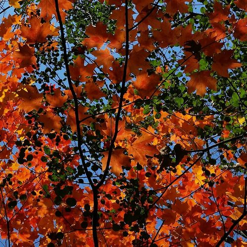 Fall Leaves Beauty In Nature Nature Neon Dayglow EyeEmNewHere Backgrounds Full Frame Day Outdoors Leaf No People Nature Multi Colored Tree Close-up