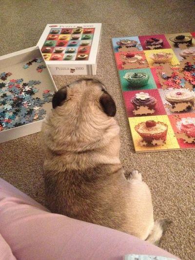 Its puzzling pugz life