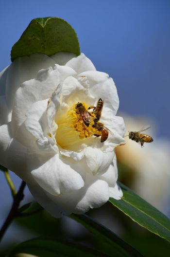 Room for four? Bee Close-up Flight Flower Flower Head Focus On Foreground Insect Nature Petal Pollination