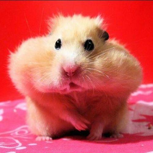 Hamster Looking After Dinner Soo_Cute Beautiful Followme Than Followback No_Editing