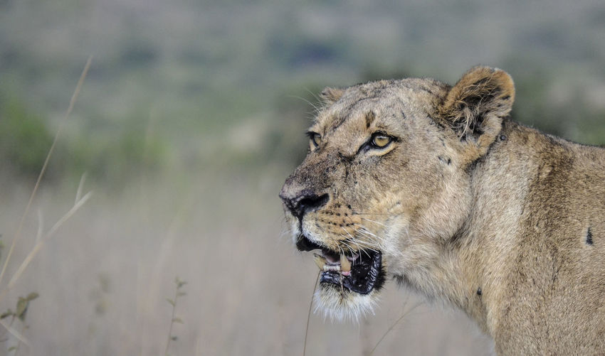 Lioness standing in forest