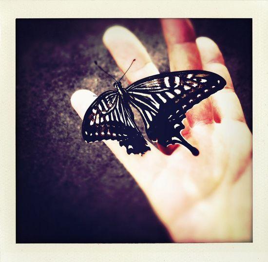 Swallowtail. Swallowtail.