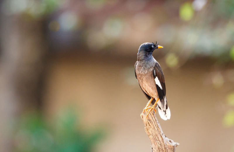 The jungle myna (Acridotheres fuscus) is a myna, a member of the starling family. This bird is a common resident breeder in tropical southern Asia from Nepal, Bangladesh, Pakistan, India and Burma east to Indonesia. Acridotheres Acridotheres Fuscus Animal Animal Themes Animal Wildlife Animals Animals In The Wild Beautiful Beauty In Nature Bird Bird Photography Birds Goa India Jungle Myna Myna Nature Nature Photography One Animal Perching Starling Wild Wildlife Wildlife & Nature Wildlife Photography
